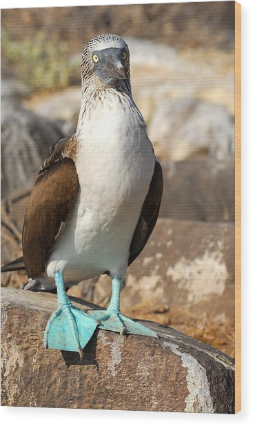 Blue-footed Booby Wood Print by Alan Lenk