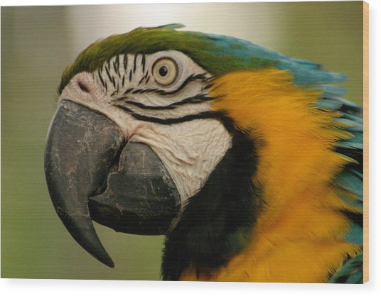 Blue Gold Macaw South America Wood Print by PIXELS  XPOSED Ralph A Ledergerber Photography