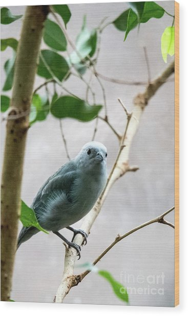 Blue-grey Tanager 2 Wood Print