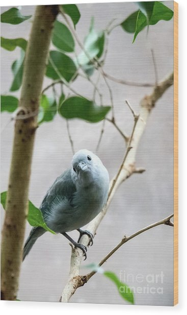 Blue-grey Tanager Wood Print