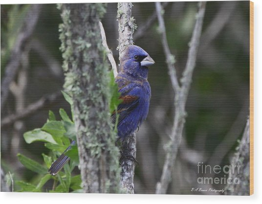 Blue Grosbeak In A Mangrove Wood Print