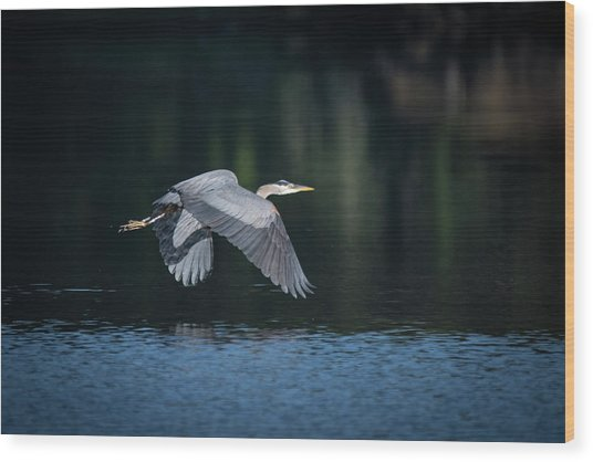 Blue Heron Flying Wood Print
