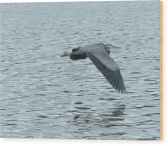 Blue Heron In Flight Wood Print by Nick Gustafson