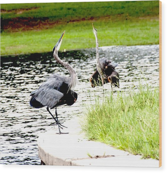 Blue Heron Mating Dance Wood Print by Bill Perry