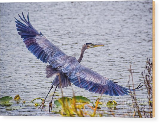 Blue Heron  Take Off  Wood Print