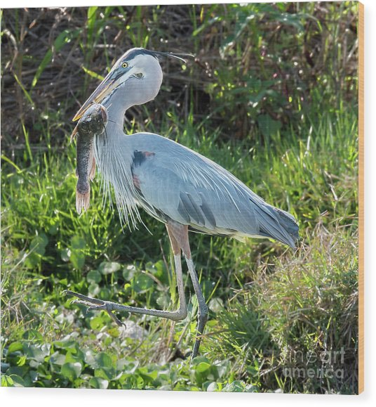 Blue Heron With Fish Wood Print