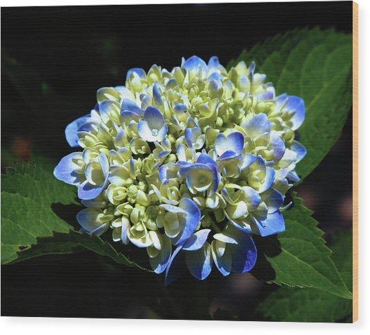 Blue Hydrangea Onstage 2620 H_2 Wood Print