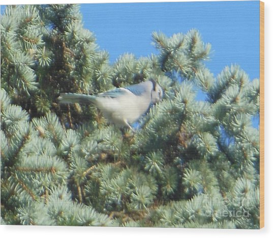 Blue Jay Colorado Spruce Wood Print