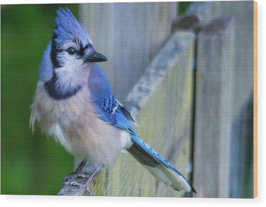 Blue Jay Fluffed Wood Print