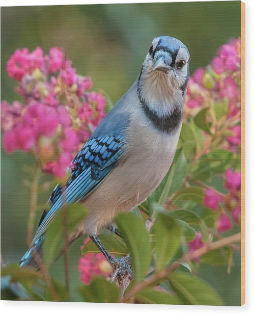 Blue Jay In Crepe Myrtle Wood Print