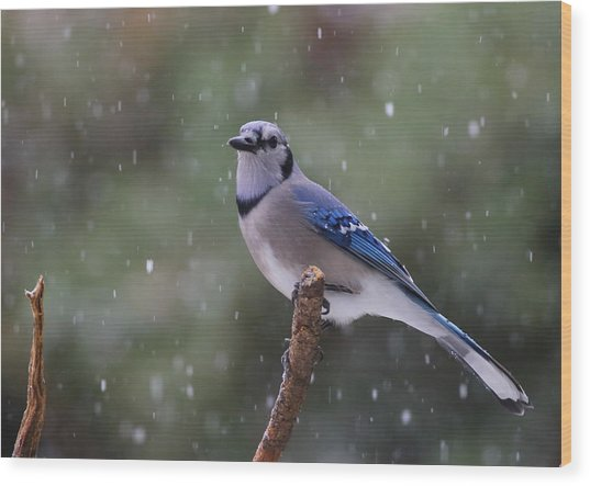 Wood Print featuring the photograph Blue Jay In Falling Snow by Daniel Reed