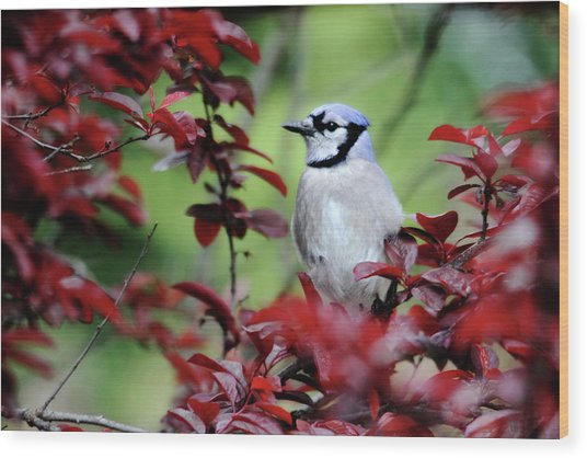 Blue Jay In The Plum Tree Wood Print
