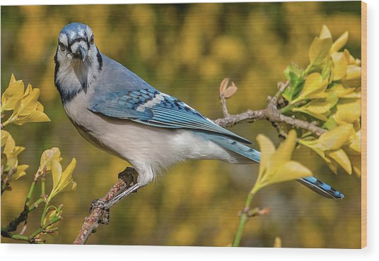 Blue Jay In Yellow Spring Wood Print