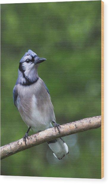 Blue Jay On Alert Wood Print