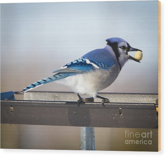 Blue Jay With A Mouth Full Wood Print