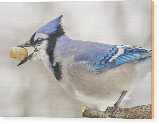 Blue Jay With Peanut, In January Wood Print