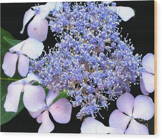 Blue Lace-cap Hydrangea Wood Print by Linda Vespasian
