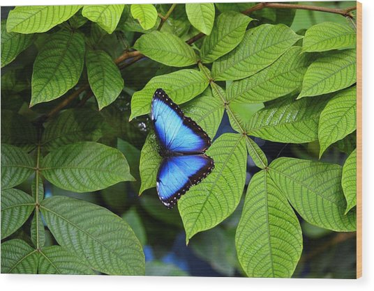 Blue Leaves - Morpho Butterfly Wood Print