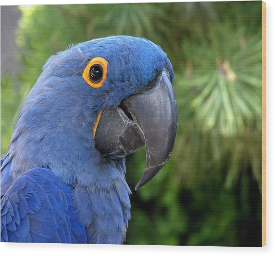 Blue Macaw Parrot Wood Print