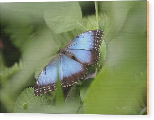 Blue Morpho Butterfly Wood Print by Mike Lytle