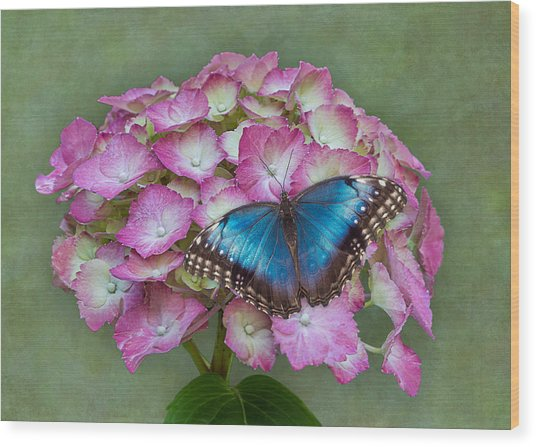 Blue Morpho Butterfly On Pink Hydrangea Wood Print