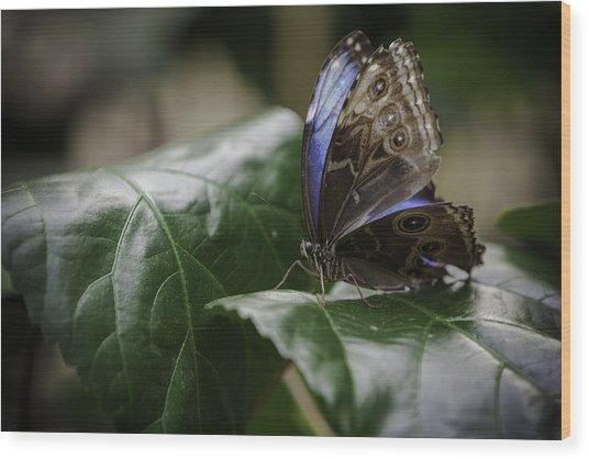 Blue Morpho On A Leaf Wood Print