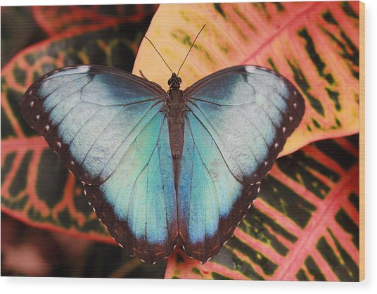 Blue Morpho On Orange Leaf Wood Print