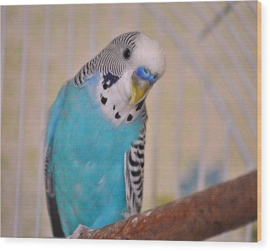 Blue Parakeet Wood Print