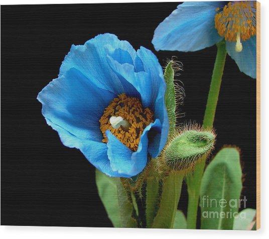 Blue Poppy Wood Print by Robert Nankervis