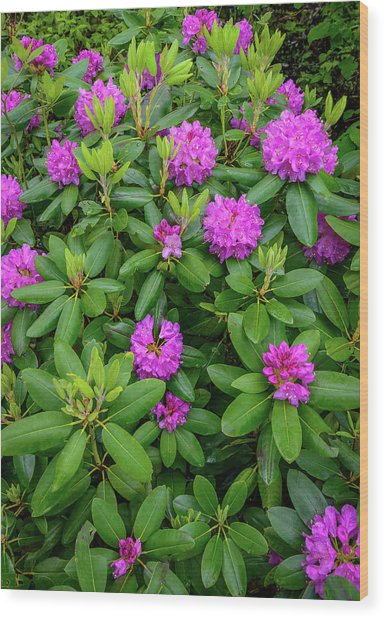 Blue Ridge Mountains Rhododendron Blooming Wood Print
