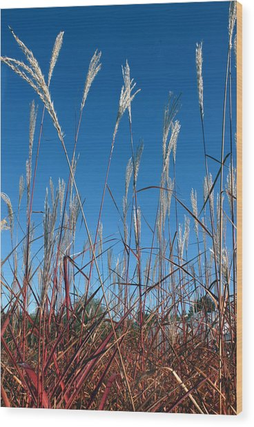 Blue Skies And Grasses Wood Print