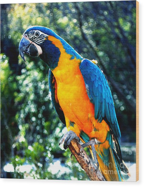 Blue Throated  Macaw 2 Wood Print