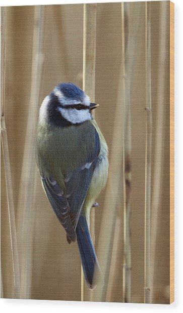 Blue Tit On Reed Wood Print