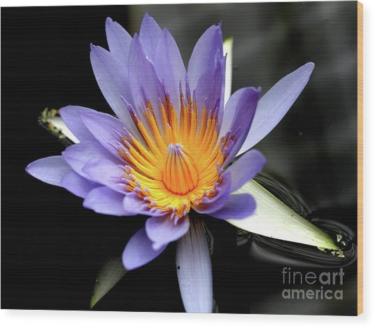 Blue Water Lily Pond Flower . 7d5726 Wood Print by Wingsdomain Art and Photography
