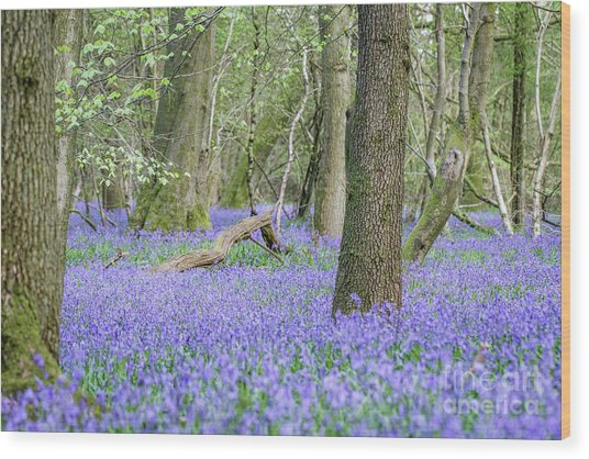 Bluebell Wood - Hyacinthoides Non-scripta - Surrey , England Wood Print