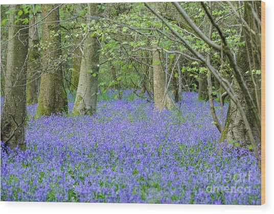 Bluebell Woodland Hyacinthoides Non-scripta, Surrey , England Wood Print