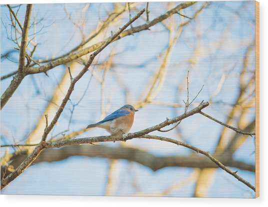 Bluebird In Tree Wood Print