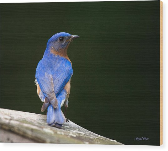 Wood Print featuring the photograph Bluebird Male by Angel Cher