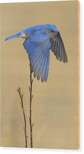 Bluebird Takes Flight Wood Print