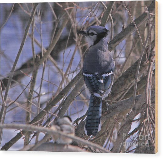 Bluejay In The Woods Wood Print