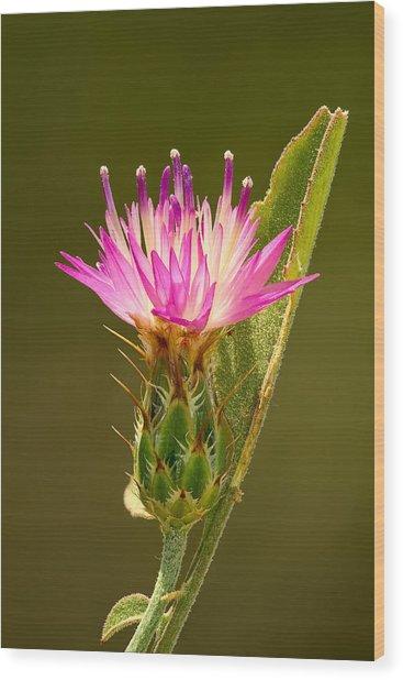 Blush Centaury-thistle Wood Print by Yuri Peress