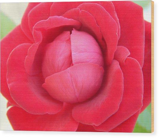 Blush Lettuce Rose Wood Print