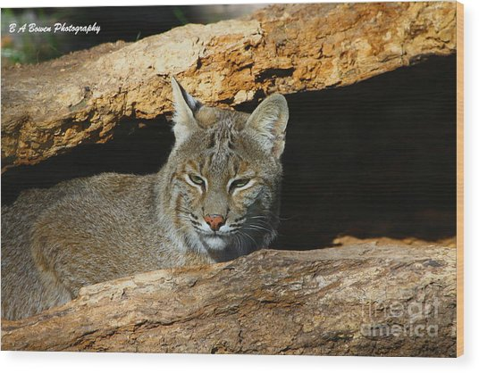 Bobcat Hiding In A Log Wood Print