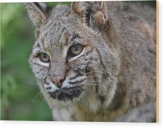 Bobcat In The Trees Wood Print