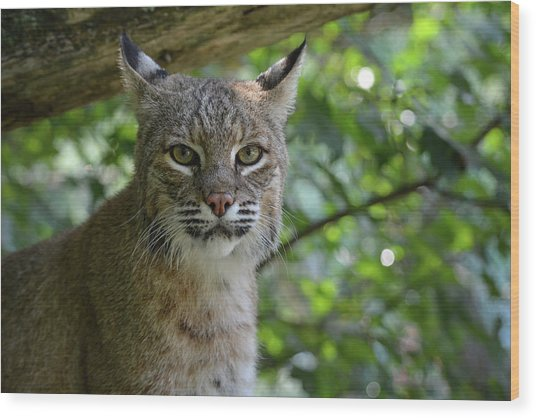 Bobcat Staring Contest Wood Print