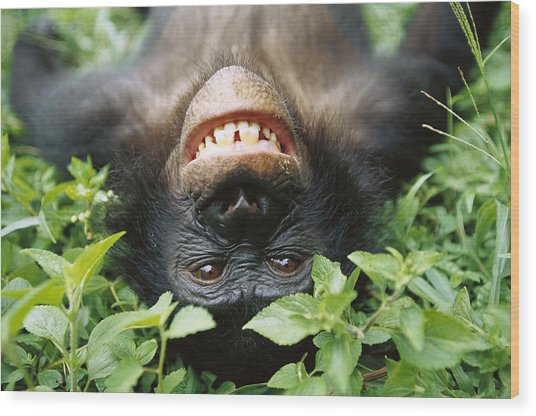 Bonobo Smiling Wood Print