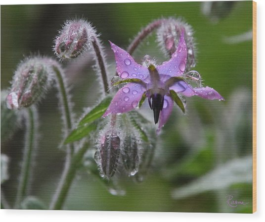 Borage Umbrella Wood Print
