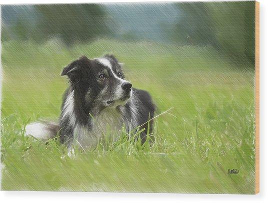 Border Collie - Dwp2189332 Wood Print