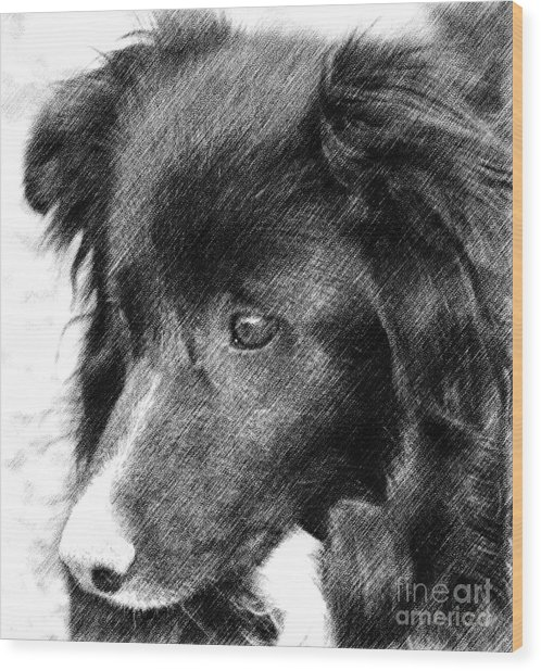 Border Collie In Pencil Wood Print