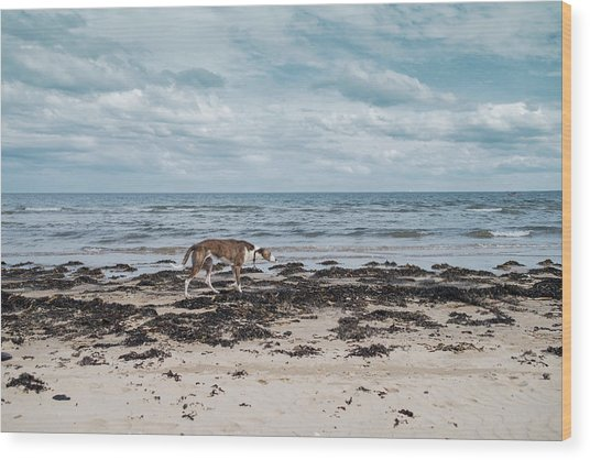 Borzoi Dog Stalking Alnmouth Beach Wood Print by Jean Gill